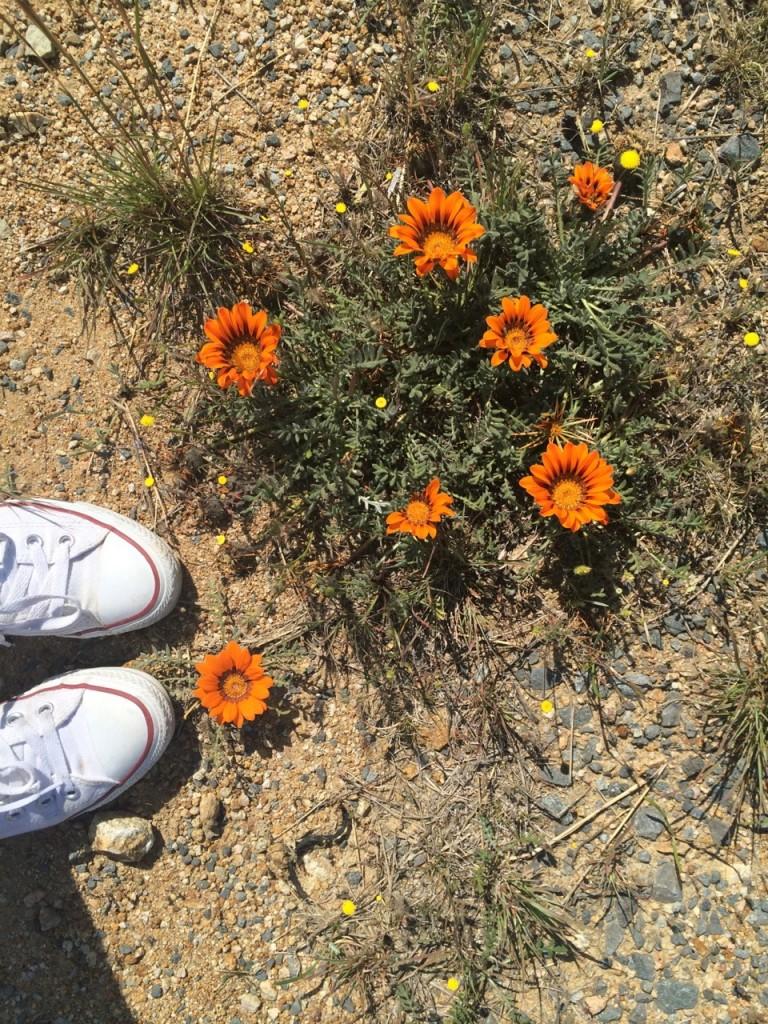 namkwa west coast flowers namibia route